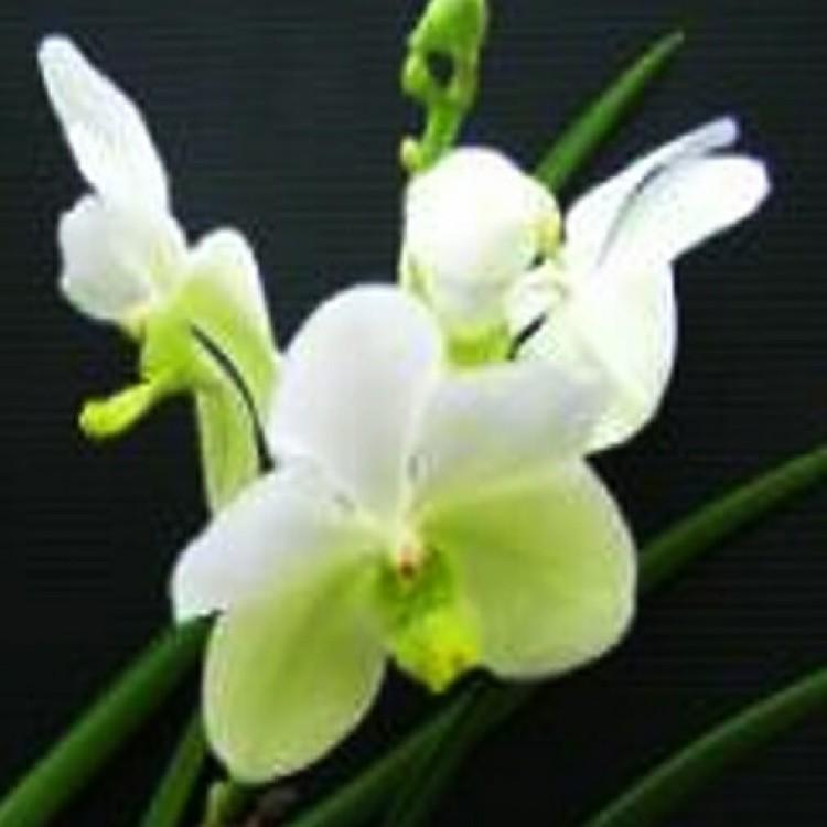 585 - Vanda Udom Delight - PRE-ADULTAS