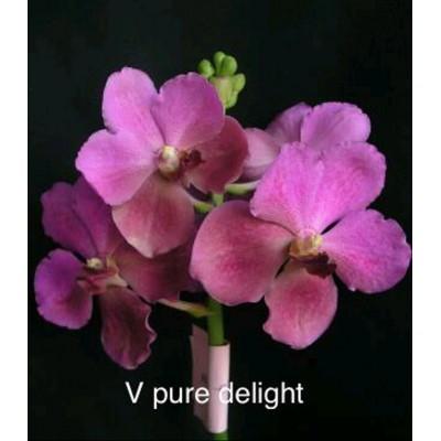 582- Vanda Pure Delight - PRE-ADULTAS