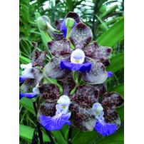 06 - Papilionanda Paksorn Fragrance
