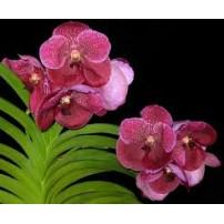 576- Vanda Robert Delight Garnet Beauty