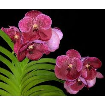 576- Vanda Robert Delight Garnet Beauty