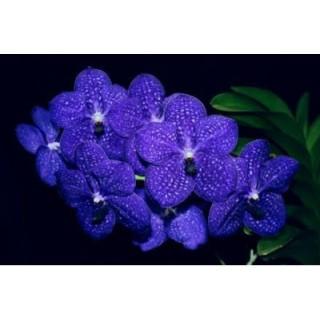 579 - Vanda Pachara Delight Somsri -PRE-ADULTAS
