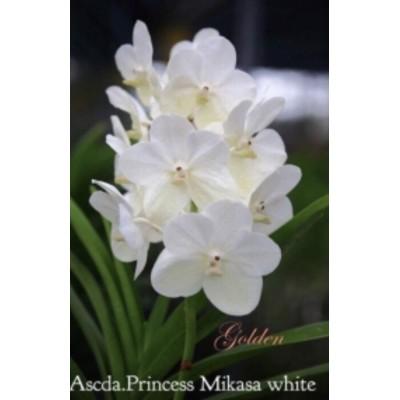 1009- Ascocenda Princess Mikasa White- Raridade!