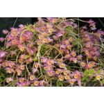386 - Dendrobium loddigesii - muito perfumadas - Adulta