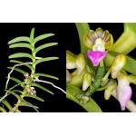 383 - Pelatantheria insectifera - raridade