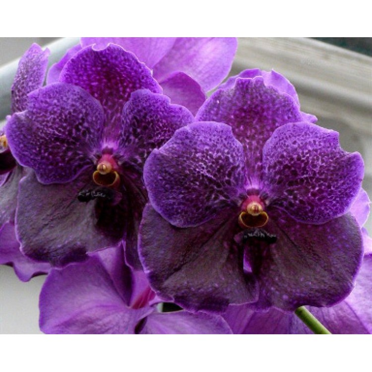 123 - Vanda Pure Wax Blue Somsri