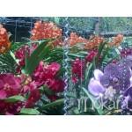 653 - 5 Vandas com hastes florais + 3 brindes