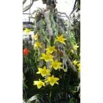 325 - Dendrobium senile - A orquídea Velha