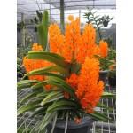 516 - Ascocentrum miniatum - 2 plantas no cachepo