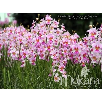 318 - Vanda Miss Joaquim Singapore National Flower