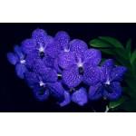121 - A verdadeira orquídea azul -  Vanda Pachara Delight