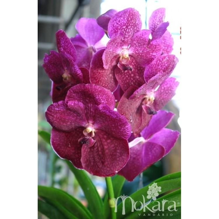 172 - Vanda Pachara Garnet Butterfly - 2 anos