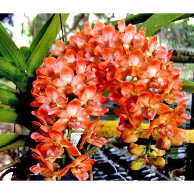 155 - Rhynchostylis gigantea Orange - Perfumada com 2 anos