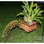 600 - 3 brindes - Grammatophyllum elegan Tiger Paw CCM - raríssimo