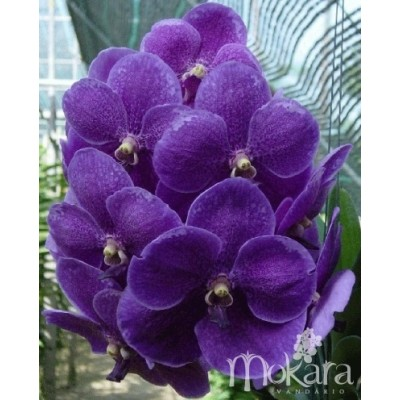 112 - Vanda Robert s Delight Blue Ink Star Mokara