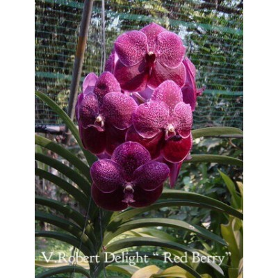 17- Vanda Robert Delight Red Berry