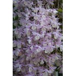 519 - Dendrobium aphyllum ROC - Premiado com CCM AOS Cortes