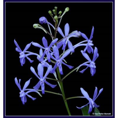 201 - Darwinara Charm 'Blue Star' (Neofinetia falcata x Vascostylis Tham Yuen Hae)