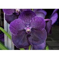 07 - Vanda Robert Delight Black 4N