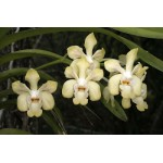 515 - Vanda denisoniana Cream Shinentorn Alba com 8 anos