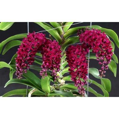 543 - Rhynchostylis gigantea Red - Perfumadas