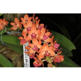 545 - Rhynchosthylis gigantea Orange Peach - perfumadas - 5 anos