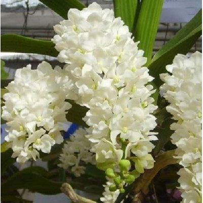 544- Rhynchostylist gigantea White - Perfumada