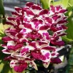 542 - Rynchostylis gigantea Big Spot - 6 anos perfumadas