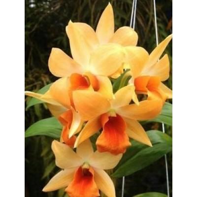 524 - Dendrobium Formosum x Fosty Doll Orange