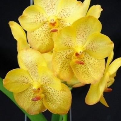 501 - Vanda Ratchaburi Beauty