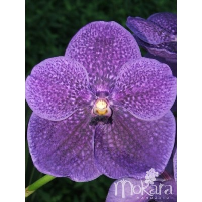 572 - Vanda Robert s Delight Blue Ink Star- PRE-ADULTAS