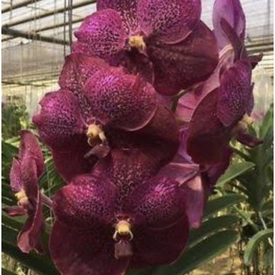 "1006 - Vanda Kru Chom ""Red Butterfly"""