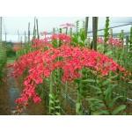 518 - Renanthera Red Dragon com 6 anos, apenas 2 plantas