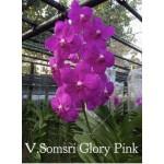 570- Vanda Somsri Glory Pink
