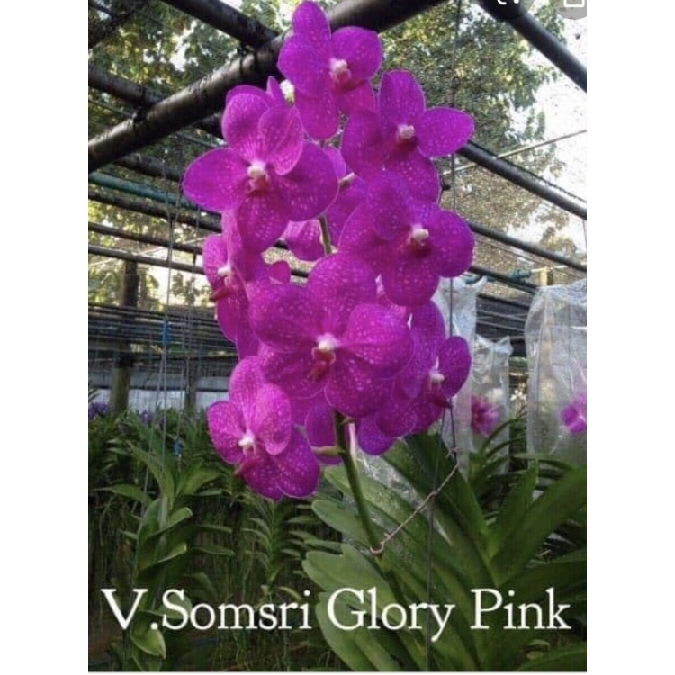 570- Vanda Somsri Glory Pink - PRE-ADULTAS
