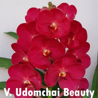 17- Vanda Udomchai Beauty