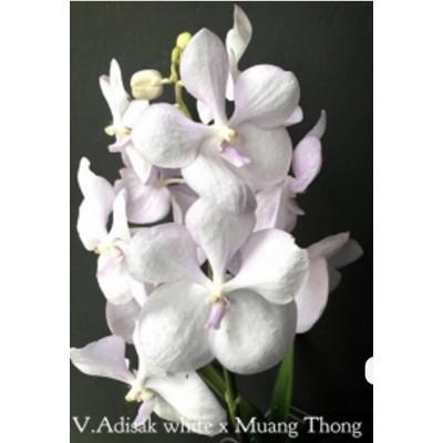 2221- Vanda Adisak White x Muang Tong - LANÇAMENTO!!!
