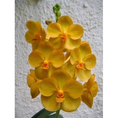 128- Vanda Fuchs Gold x V. Kulwadee Fragrance