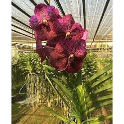 571- Vanda Kru Chom Red Butterfly- PRE-ADULTAS