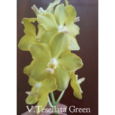 2228- Vanda tessellata Green