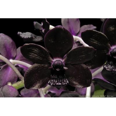 541 - A Vanda Negra